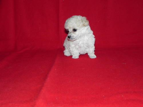 Toy Poodles For Adoption For Sale In Loris South Carolina