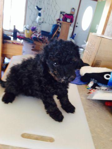 Toy Poodles For Sale 8 Weeks Old For Sale In Emerald