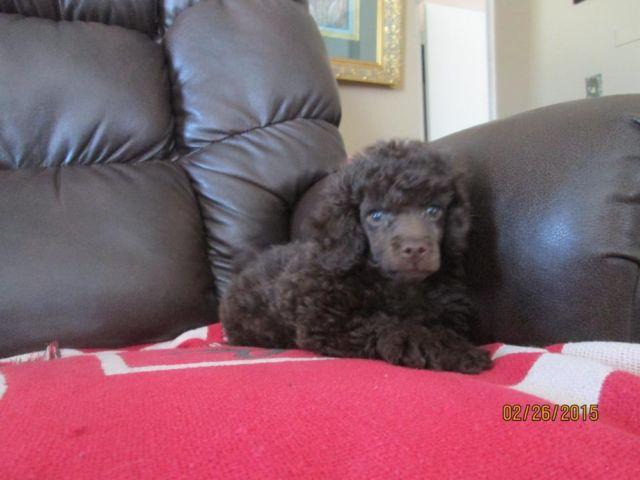 toy poodles pups - males