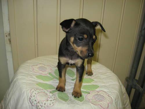 Toy Rat Terrier Puppies For Sale In Pageland South Carolina