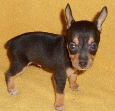 Rat Terrier Puppy For Sale In Ohio Classifieds Buy And Sell In