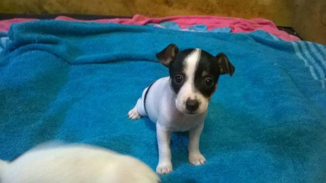 Toy Rat Terrier Puppies For Sale In Holland Arkansas Classified