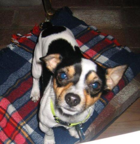 Toy Rat Terrier Puppy One Female 7 Weeks For Sale In Silverton