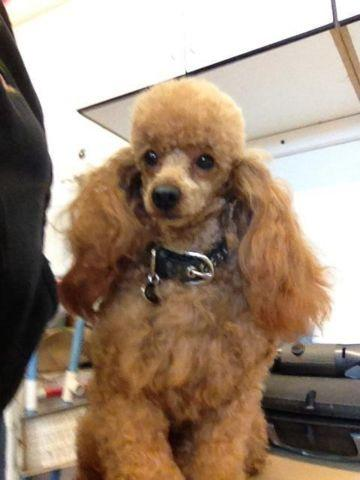 Toy red poodle stud