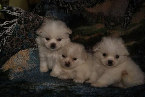 pomeranian puppies for sale in alabama toy shih pom puppies for sale in highland lake alabama 6280