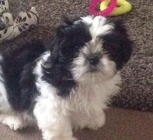 Toy Shih Tzu Puppy Shihtzu For Sale In Houston Texas Classified