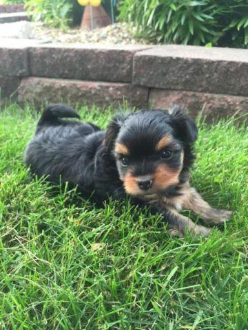 toy shorkie chihuahua for sale in le roy minnesota