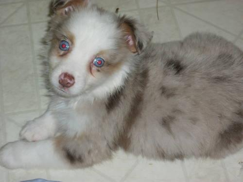 TOY size australian shepherd Female RED MERLE/Blue eyed
