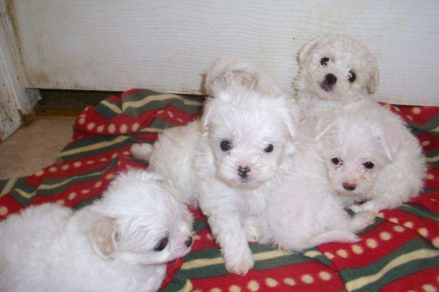 Toy Size Dogs : Toy size chipoo puppies for sale in jackson mississippi