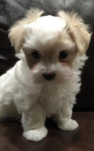 Toy size Maltese / Yorkie Puppies for Adoption - 8