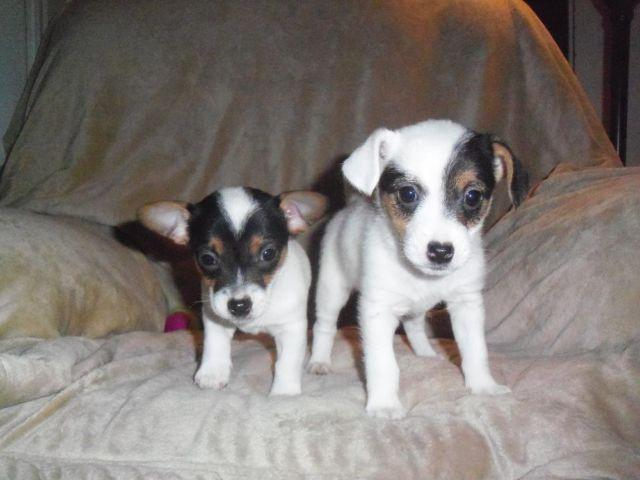 Toy Sized AKC English Jack Russell Terrier Puppies for Sale