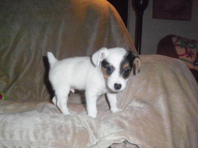 Toy Sized NKC English Jack Russell Terrier Puppy