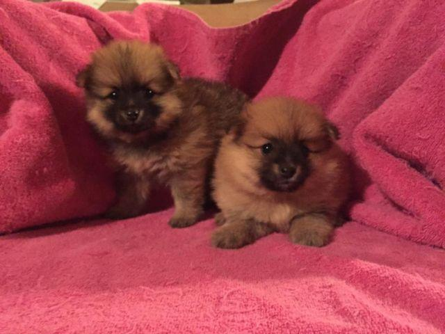 Toy Size Dogs : Toy sized pomeranian puppies for sale in philadelphia