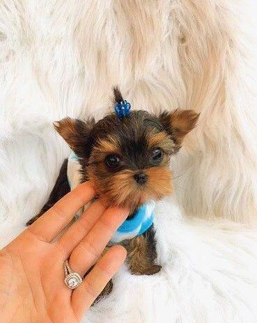 Teacup Yorkie Puppies For Sale In Michigan Classifieds Buy