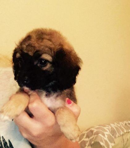 Toy Yorkie Poo Puppies For Sale In Houston Texas Classified