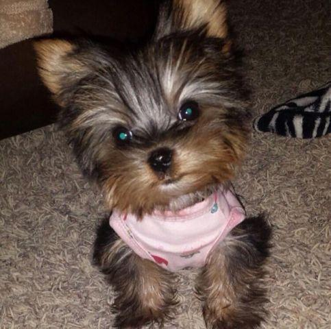 Yorkie Poo For Sale In Spokane Washington Classifieds Buy And