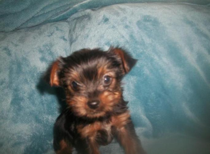 Toy Yorkies For Sale In Laurel Mississippi Classified