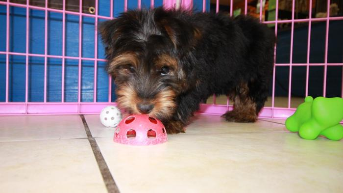 Toy Yorkshire Terrier Yorkie Puppies For Sale Local Breeders