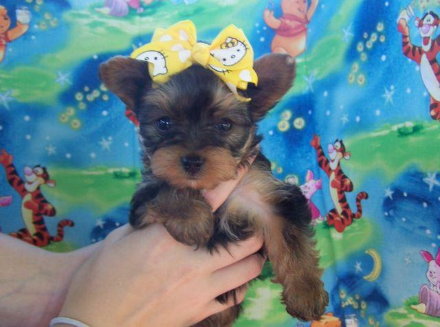 traditional female yorkie puppys