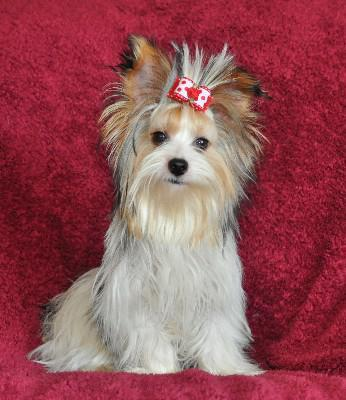 Teacup Yorkies For Sale In Arkansas Classifieds Buy And Sell In