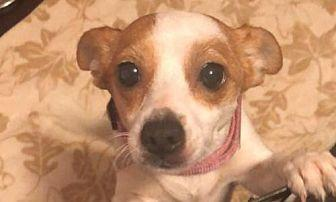 Trailer Park Mona (Adopted) Chihuahua Adult Female