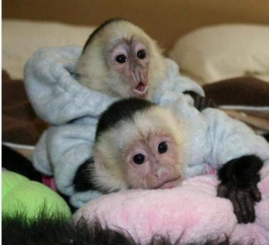Trained acrobatic capuchin monkeys for rehoming (480)