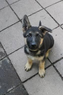 Pets And Animals For Sale In Aumsville Oregon Puppy And Kitten
