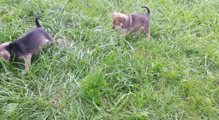 Treeing Mountain Feist Pups For Sale In Chesaning Michigan