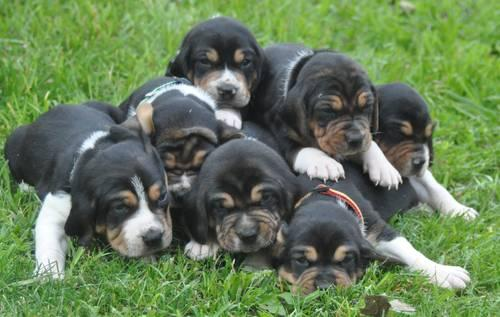Treeing Walker Coonhound Puppies Pets And Animals For Sale In