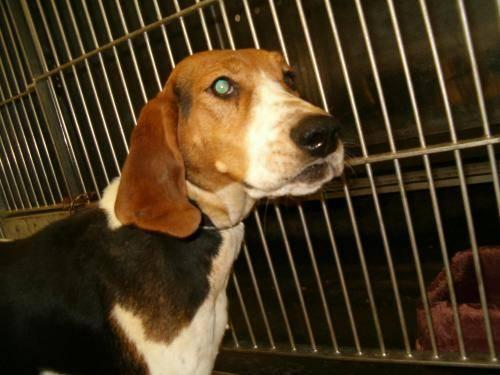 Treeing Walker Coonhound - Twila - Medium - Adult -