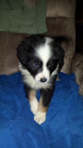 Tri Border Collie Puppy For Sale In Sandy Oregon