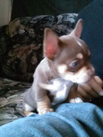 tri color chihuahua tri color chihuahua for sale in sacramento california 3776