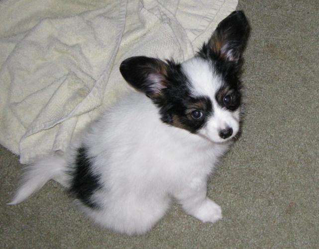 Tri-color Male Papillon Puppy (8 weeks old)