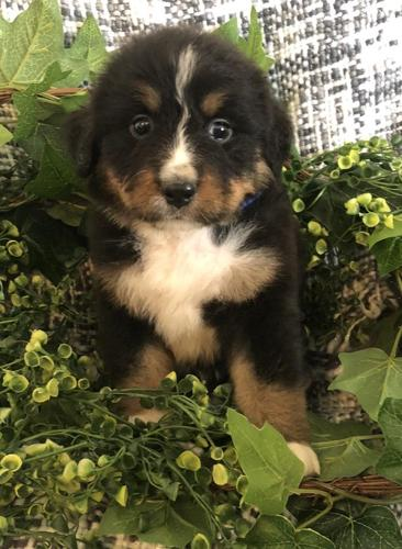 Tri Colored Bernedoodles For Sale In Wauseon Ohio