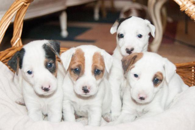 Tri Colored Jack Russell Terrier Puppies Registered
