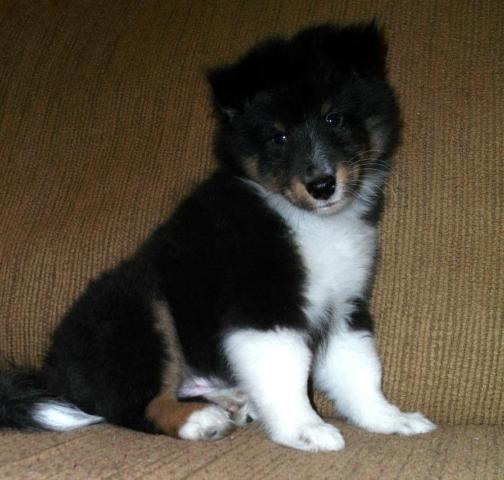 Devon: Tricolor male sheltie puppy