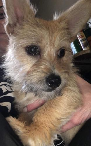 cairn terrier for sale in Washington Classifieds & Buy and