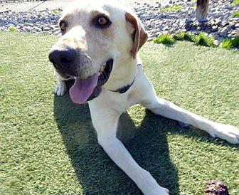 Trooper #3 Labrador Retriever Young Male