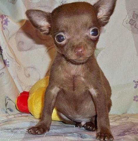 chihuahua teacup chihuahua puppy tcup chihuahua chocolate chihuahua ... Black And White Short Hair Chihuahua