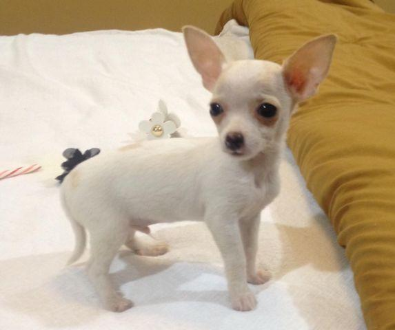 chihuahua single men Chihuahua information including pictures, training, behavior, and care of chihuahuas and dog breed mixes.
