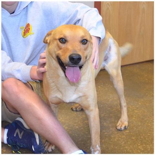 Tucker Labrador Retriever Young - Adoption, Rescue for Sale
