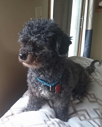 Tucker Shih Tzu Adult Adoption Rescue For Sale In Fenton