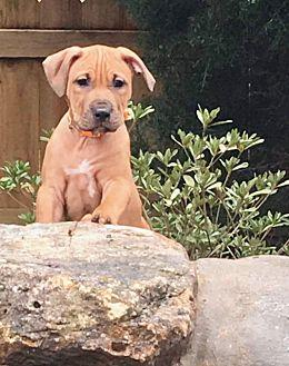 Tundra Boxer Puppy Male