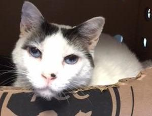 Turkey Domestic Short Hair Adult - Adoption, Rescue