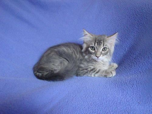 Persian Cat For Sale In Sarasota Florida Classifieds Buy And Sell