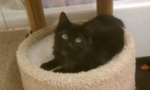 Turkish Angora Noah Medium Baby Male Cat For Sale In