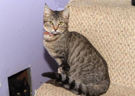 Turkish Angora Raphaela Small Baby Female Cat For Sale In