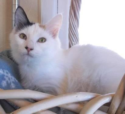 Turkish Van - Scotty - Medium - Adult - Male - Cat