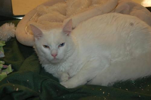 c152b7f6c4 Turkish Van - Xavier - Large - Adult - Male - Cat for Sale in Davis ...