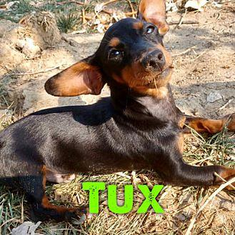 tux-chihuahua-puppy-male-americanlisted_130310959 Oodle Application Form For Dogs on rescue volunteer, kennel employee, therapy printable, care employment template or, foster home,
